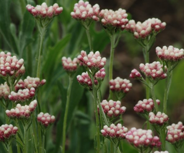many stems of pink and white flowers against green foliage
