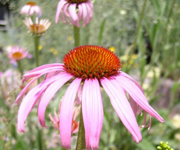 single pink ray flower with orange-brown disc flowers in center