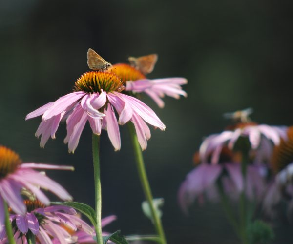 2 small tan butterflies rest on disc flowers of echinacea