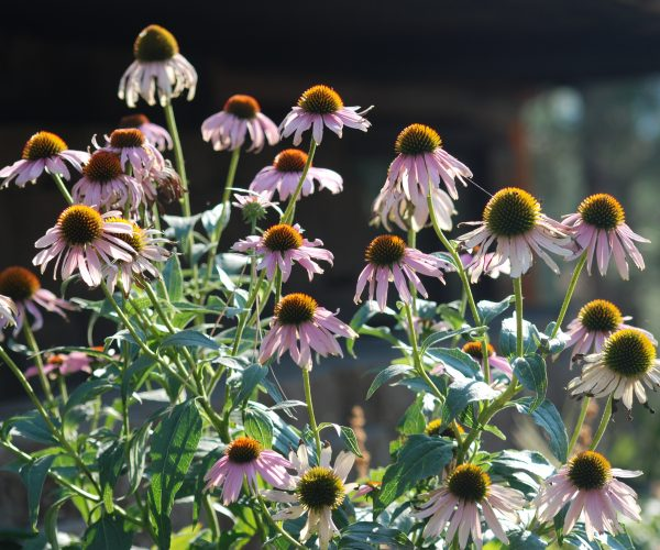 large clusters of pinkish echinacea flowers