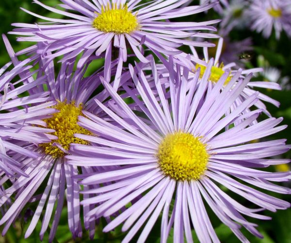 several purple ray flowers with yellow centers