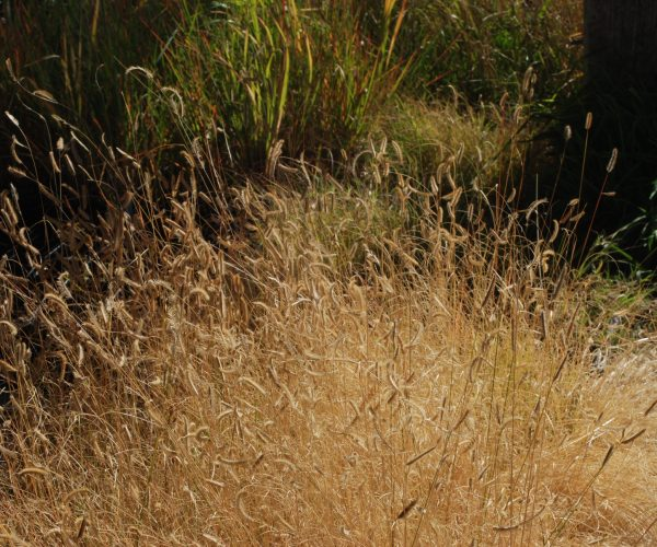 huge plant of golden colored blue grama grass covered with seedheads