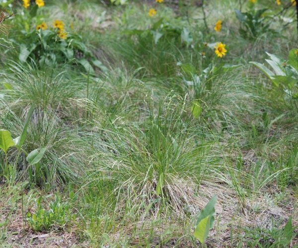tufts of rough fescue grass with arrowleaf balsamroot flowers in background
