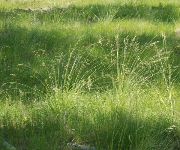 green grassland with large clumps of rough fescue grass with tall, draping seed stalks