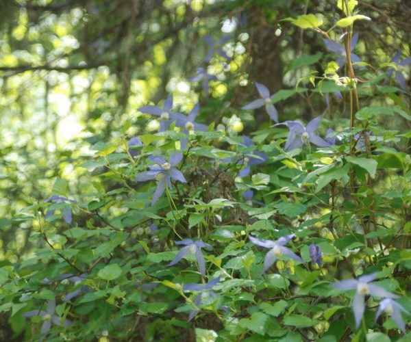 green vine covered with purple-blue 4-petaled flowers