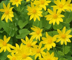 numerous yellow ray flowers among green heart-shaped leaves