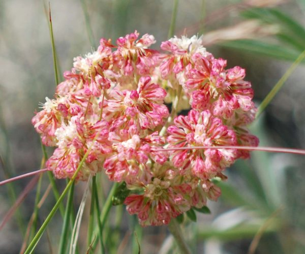single umbel of sulphur buckwheat flowers that have turned red as they fade