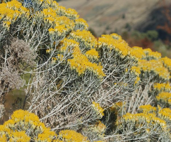 large plant of rabbitbrush with yellow clustered flowers at ends of blue-green stems