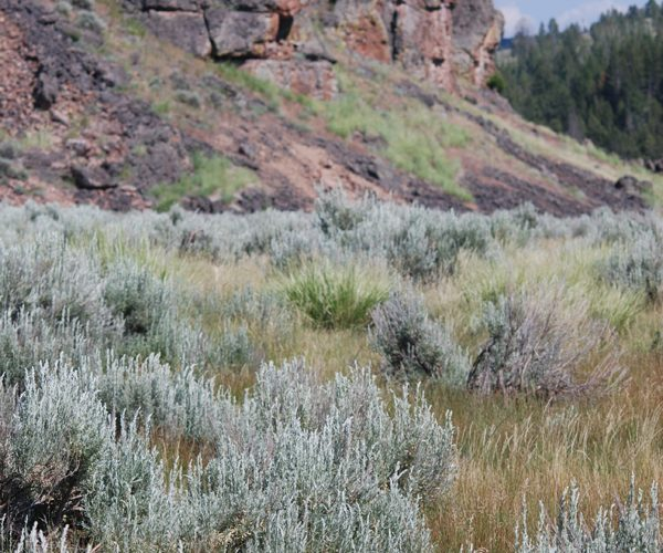 field of mountain big sage with rocky cliff in background