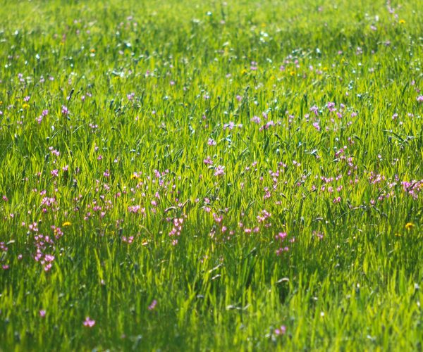 wet meadow in spring with many pink shooting star flowers