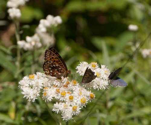 butterfly on pearly everlasting