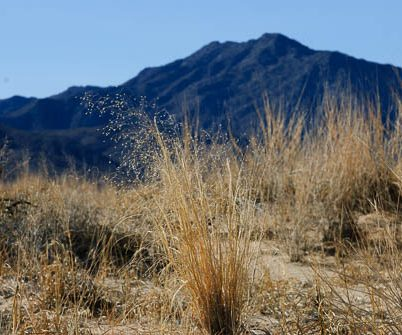 Indian ricegrass in sand dunes