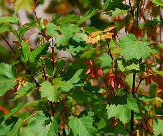 beginnings of red and yellow color on Rocky Mountain maple