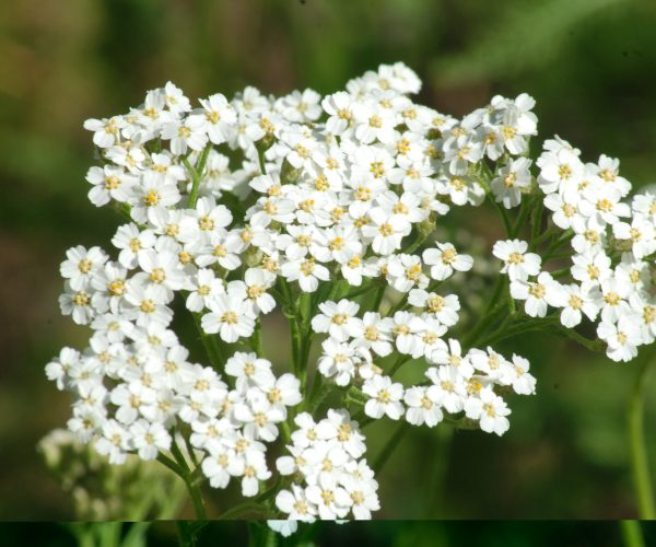 clusters of tiny white flowers