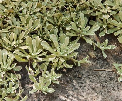 silvery leaves form on stolons forming dense mats