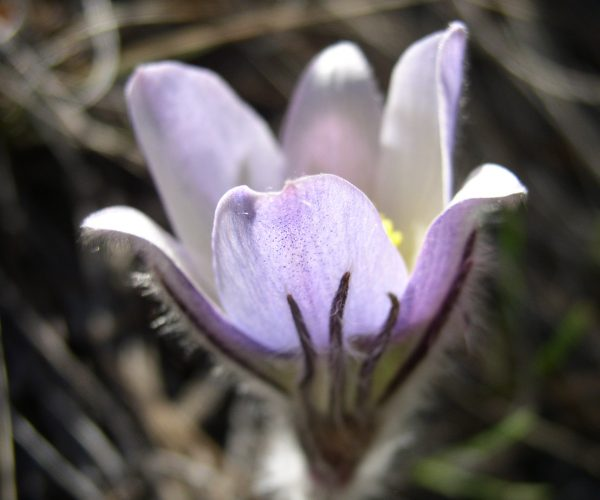 side view of pasqueflower