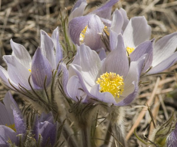 cluster of pasqueflowers