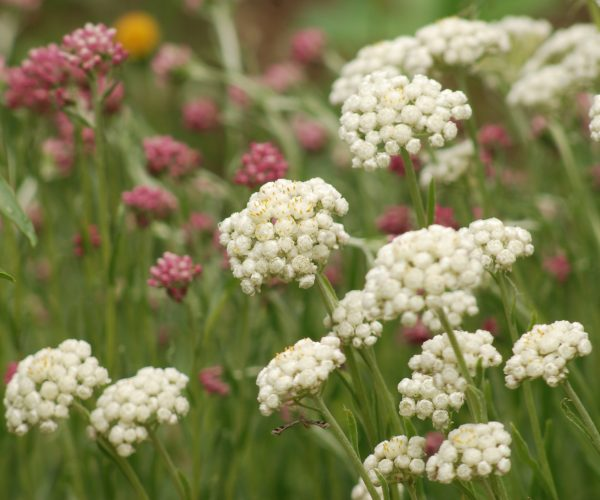 pearly everlasting flower heads with rosy pussytoes